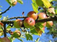 Украинские садоводы не могут удовлетворить спрос азиатских импортеров на яблоко даже в условиях перепроизводства